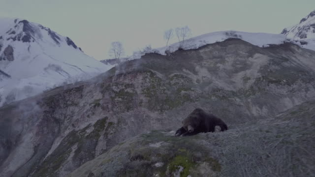 brown bear on cliffs lies down and sleeps in geyser valley, kamchatka, russia - steep stock videos & royalty-free footage