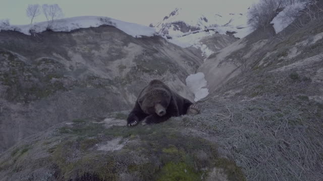 brown bear on cliffs lies down and sleeps in geyser valley, kamchatka, russia - deep snow stock videos & royalty-free footage