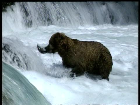 vídeos y material grabado en eventos de stock de ms brown bear pulls fish from out of the water and climbs up rapids, arctic circle - oso pardo