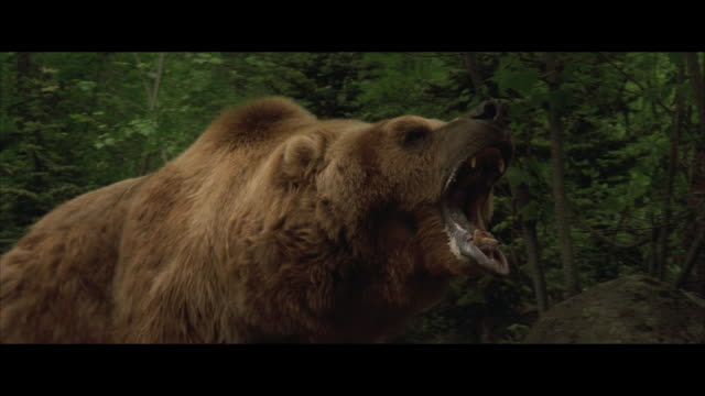 cu, pan, brown bear roaring, walking in forest - bear stock videos and b-roll footage