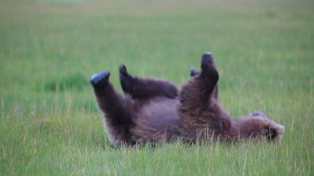vídeos y material grabado en eventos de stock de brown (grizzly) bear rubs its back, lake clark national park, alaska. - temas de animales