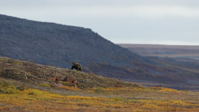 brown bear running across arctic tundra - arctic national wildlife refuge stock videos & royalty-free footage