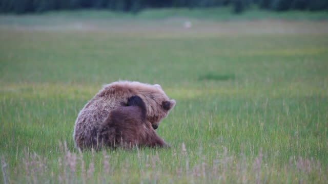 Brown (Grizzly) bear scratches its head, Lake Clark National Park, Alaska.