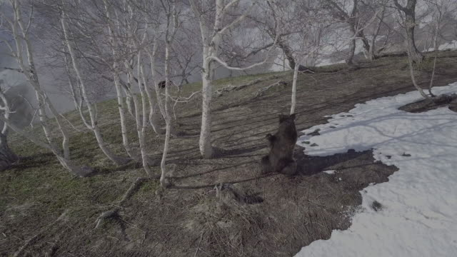 brown bear scratching its back against a tree, valley of geysers, kamchatka, russia - scratching stock videos & royalty-free footage