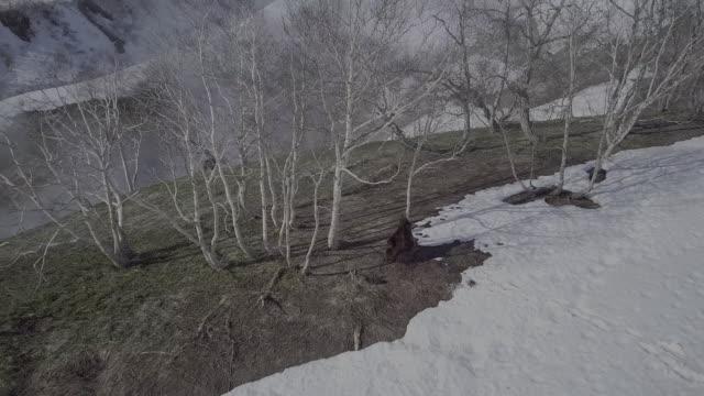 brown bear scratching its back against a tree, valley of geysers, kamchatka, russia - rev naturföreteelse bildbanksvideor och videomaterial från bakom kulisserna