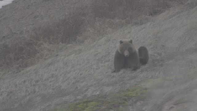 brown bear scratching its head with its foot, valley of geysers, kamchatka, russia - rev naturföreteelse bildbanksvideor och videomaterial från bakom kulisserna
