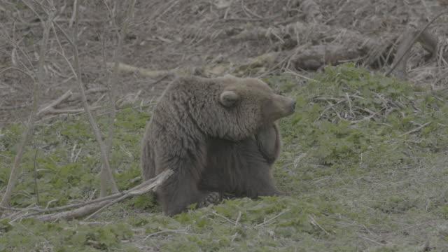 vídeos y material grabado en eventos de stock de brown bear scratching its head with its foot, valley of geysers, kamchatka, russia - oreja animal