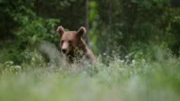 LD Brown bear sitting in the meadow and eating roots and plants
