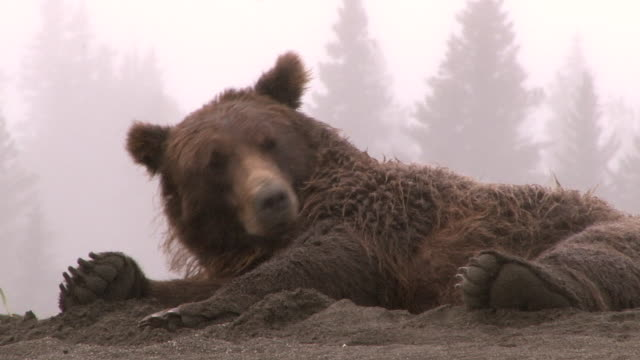 brown bear sleeping on beach with cubs, lake clark national park, alaska - bear stock videos and b-roll footage