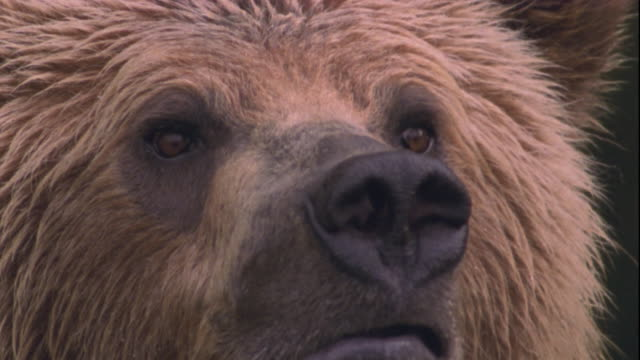 a brown bear sniffs the air. available in hd. - animal hair stock-videos und b-roll-filmmaterial