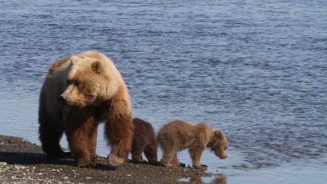 Brown (Grizzly) bear sow with cubs get a drink, Lake Clark National Park, Alaska.