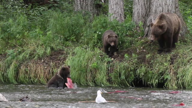 brown bear sow with cubs looking for fish, chugach national forest, alaska. - chugach national forest stock videos & royalty-free footage