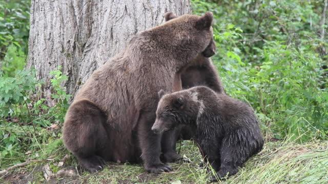 vídeos y material grabado en eventos de stock de brown bear sow with cubs looking for fish, chugach national forest, alaska. - américa del norte