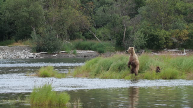 brown bear standing up by the water - くま点の映像素材/bロール
