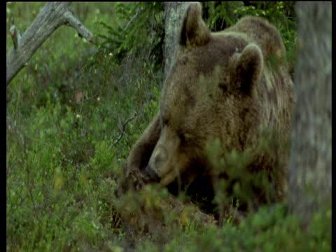 brown bear turns over piece of bark to feed, scandinavia - aas fressen stock-videos und b-roll-filmmaterial
