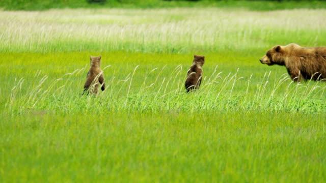 brown bear ursus arctos cubs with adult female - bärenjunges stock-videos und b-roll-filmmaterial