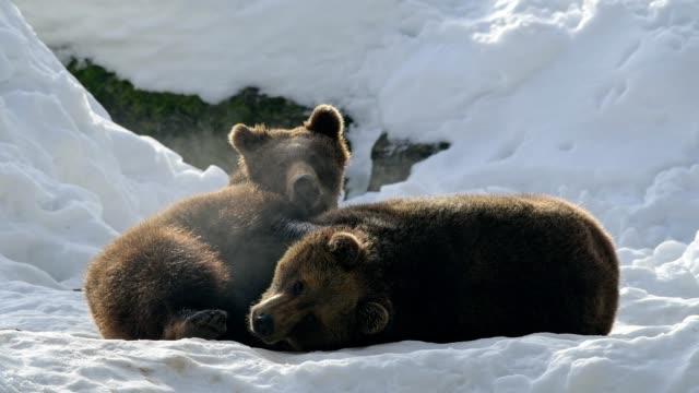 brown bear, ursus arctos, in winter - bär stock-videos und b-roll-filmmaterial