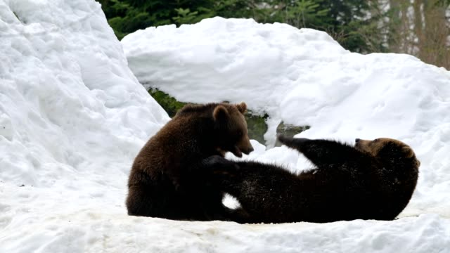vidéos et rushes de brown bear, ursus arctos, in winter - mammifère