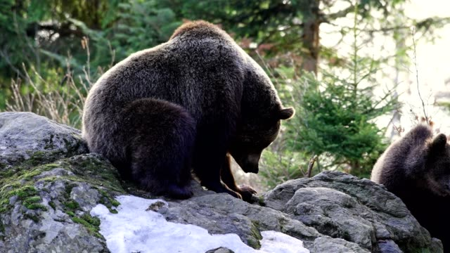 stockvideo's en b-roll-footage met brown bear, ursus arctos, mother and cub, bavaria, germany - meer dan 50 seconden