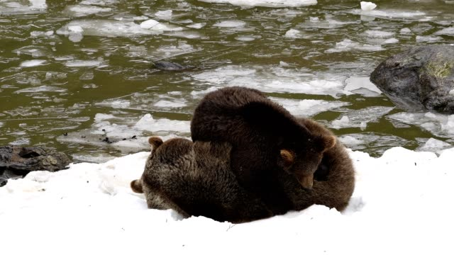 Brown bear, Ursus arctos, mother and cub playing in snow, Bavaria, Germany