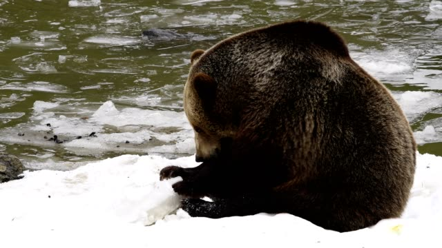 brown bear, ursus arctos, playing in snow with ice floe, bavaria, germany - 30 sekunden oder länger stock-videos und b-roll-filmmaterial