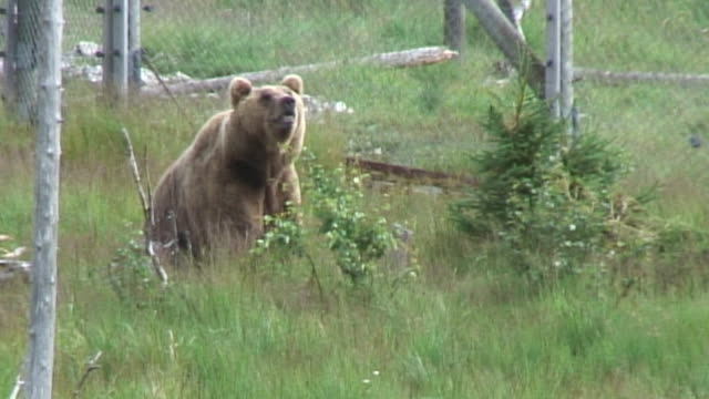 brown bear - 2008 stock videos and b-roll footage