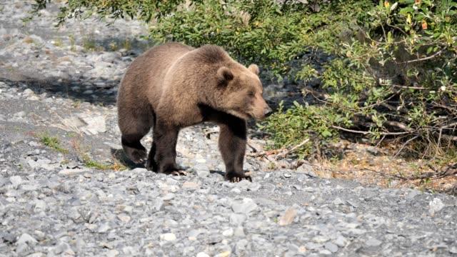 braunbär - grizzlybär stock-videos und b-roll-filmmaterial