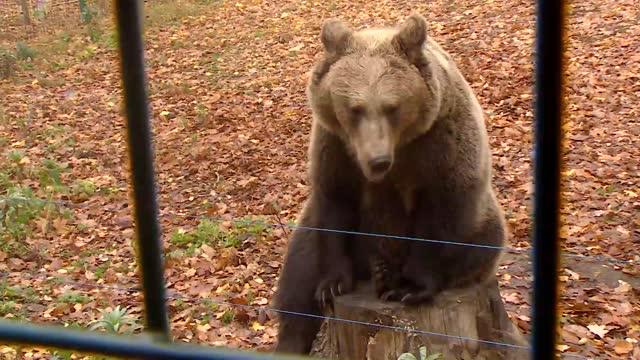 brown bear - brown bear stock videos & royalty-free footage