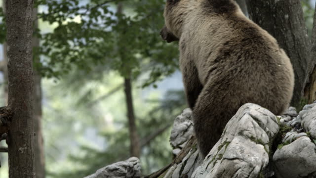 brown bear - bear stock videos and b-roll footage