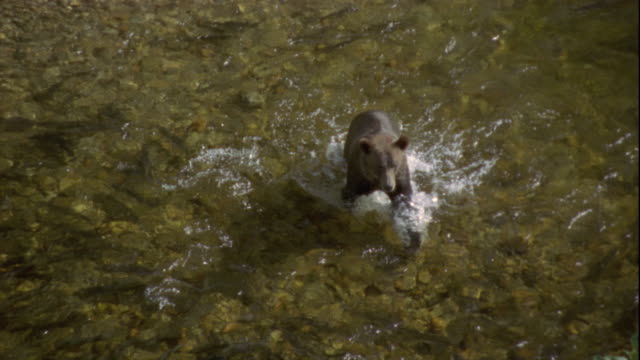 a brown bear wades across a river. available in hd. - grizzlybär stock-videos und b-roll-filmmaterial