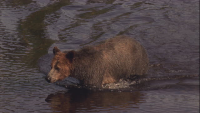 stockvideo's en b-roll-footage met a brown bear wades across a river. available in hd. - waden