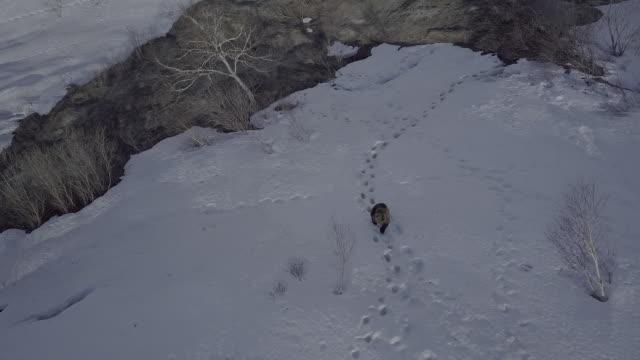 brown bear walking along pawprints, kamchatka, russia - braunbär stock-videos und b-roll-filmmaterial