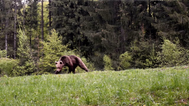vidéos et rushes de brown bear walking in the forest. towards camera / carpathian mountains romania - ours brun