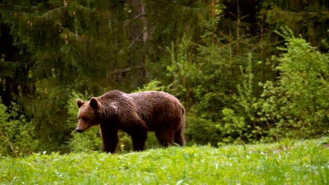stockvideo's en b-roll-footage met brown bear walking in the forest. towards camera / carpathian mountains romania - romania