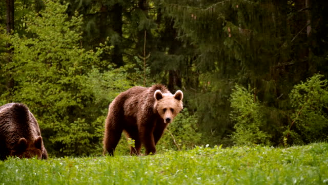 brown bear walking in the forest. towards camera / carpathian mountains romania - romania stock videos & royalty-free footage