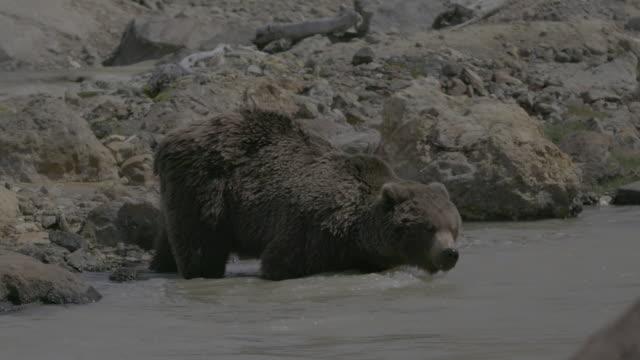 brown bear walking into water in geyser valley, kamchatka, russia - walking in water stock videos & royalty-free footage