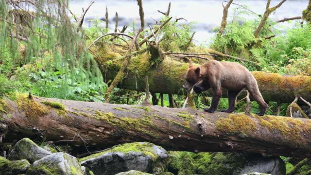 brown bear (ursus arctos) walks across a log and turns towards camera - アラスカ点の映像素材/bロール
