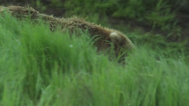 Brown bear walks down grassy hill, McNeil River Game Range, Alaska, 2011