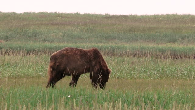 brown bear walks through meadow from left to right,  from coastal alaska - one animal stock videos & royalty-free footage