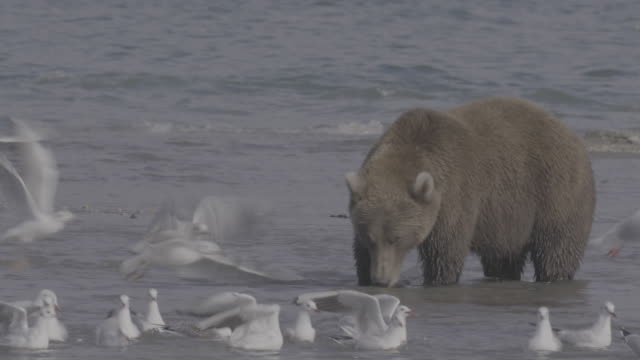 brown bear wandering around kurile lake, kamchatka, russia - 海洋性の鳥点の映像素材/bロール