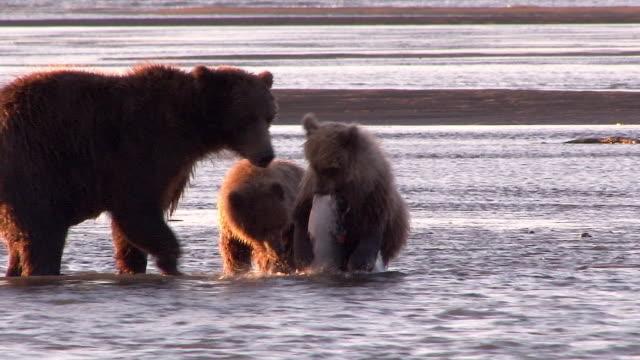 vídeos de stock e filmes b-roll de brown bear watches over her cubs as they eat salmon, lake clark national park, alaska - captura de peixe
