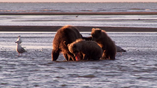 brown bear watches over her cubs as they eat salmon, lake clark national park, alaska - catching stock videos & royalty-free footage