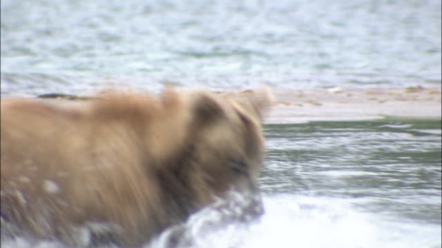 Brown Bear Which Has Caught Sockeye Salmon