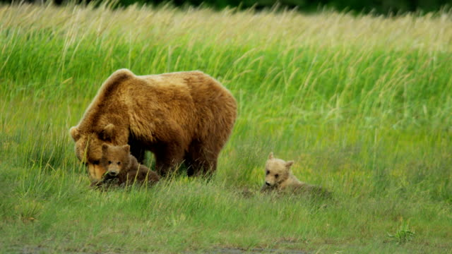 brown bear with cubs feeding on vegetation usa - homer alaska stock videos & royalty-free footage