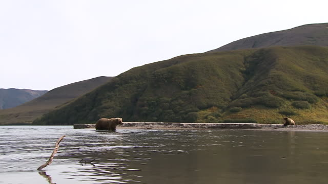 ws cs brown bear with her two cubs at the kurile lake in kamchatka, russia - cub stock videos & royalty-free footage