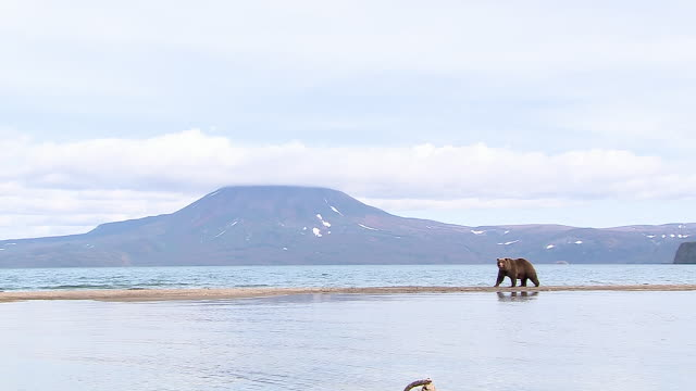ws cs brown bear with her two cubs at the kurile lake in kamchatka, russia - brown stock videos & royalty-free footage