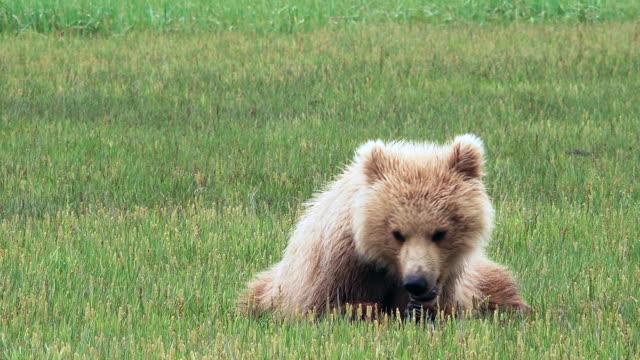 Brown Bearcub grazing while lying down, from coastal Alaska