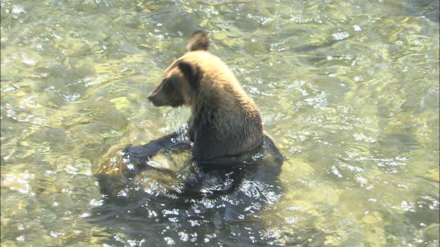 Brown Bears And Pink Salmon In Hokkaido