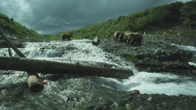 vídeos de stock, filmes e b-roll de brown bears at side of river eating sockeye salmon, mcneil river game range, alaska, 2011 - onívoro