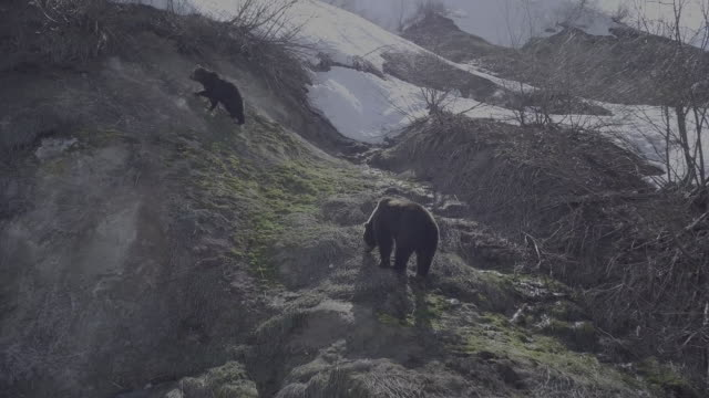 brown bears climbing uphill in kamchatka, russia - named wilderness area stock videos & royalty-free footage